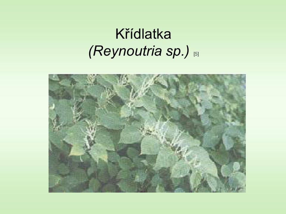 Křídlatka (Reynoutria sp.) [5]